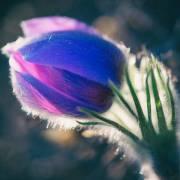 Первый Первоцвет