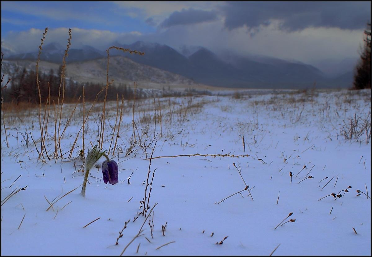 Подснежник, Алтай